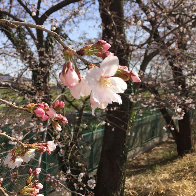 早い春 。  近所でも、だいぶ桜が咲き始めました。 少し風はありますが、心地よい一日です。  昨日の朝気がついた三連休も、真ん中土曜日です。 のんびりと開店します。